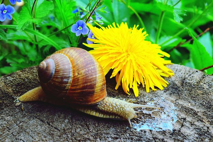 Snail Flower Nature Animals In The Wild Fragility One Animal Plant Animal Wildlife Animal Themes Close-up No People Outdoors Beauty In Nature Day Snail Photography Snail Collection Yellow EyeEm Nature Lover Snail Dandelion Spring Plants Flowers, Nature And Beauty Freshness Nature Photography Nature