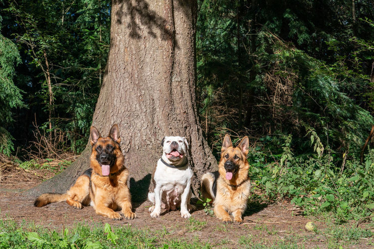 Three dogs in the woods, two german shepherd and an old english bulldog, sitting in front of a tree.