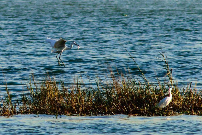 Beauty In Nature Egretta Bird Animals In The Wild One Animal Animal Themes Animal Wildlife Water Nature Lake Heron Outdoors Day Gray Heron