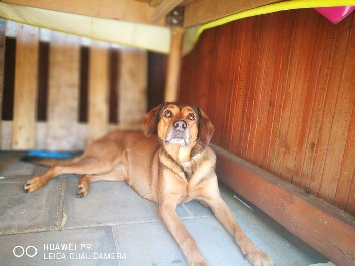 Shepherd Laprador Pet Belgischer Schäferhund Pets Representing Dog Puppy