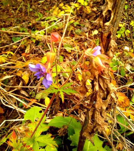 Autumn Floers Autumn Violets Beauty In Nature Flower Flower Head Fragility Freshness Growth Nature Petal Plant Purple