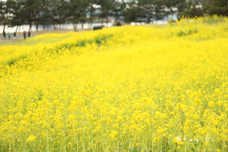 葛西臨海公園 菜の花 Flower Japan EyeEm Nature Lover Natural