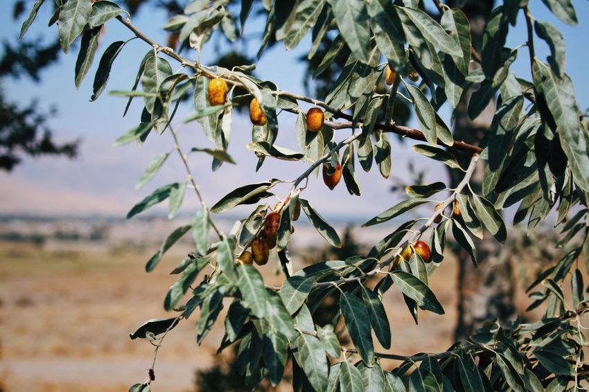 Pistachio Tree Garden Green Warmth Khoy EyeEm Selects Open Edit Food Nuts Fruit Tabriz Iran Nature Tree Pistachio Tree Pistachio Tree Bird Food Fruit Branch Nature Beauty In Nature Leaf Outdoors Perching Growth Day No People Freshness Sky