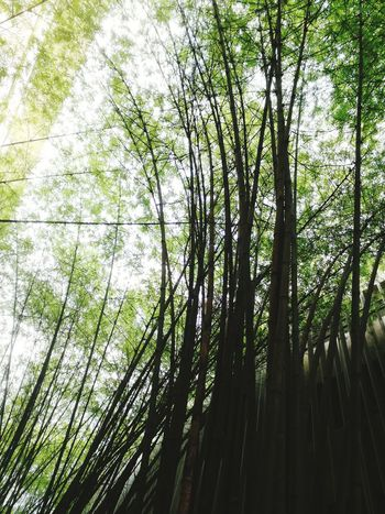 Nature Growth Beauty In Nature Green Color Bamboo Grove Bamboo - Plant Outdoors Backgrounds Day No People Malaysia Putrajaya Alamanda