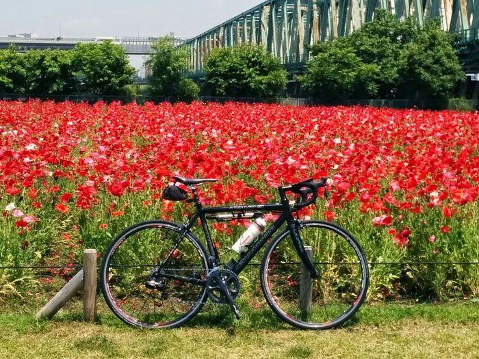 ポタ&ライド 荒サイ Scenery Eyem Flower_collection Poppy Cycling Around Open Edit Taking Photos