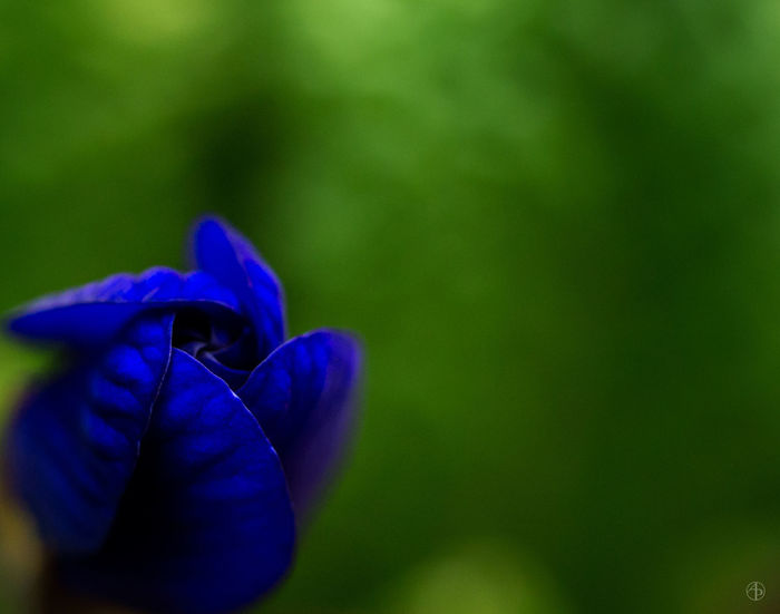 Indigo flower bud Abstract Macro Beauty In Nature Blue Close-up Flower Flower Head Focus On Foreground Fragility Green Color Growth Nature Petal Plant Purple Selective Focus Single Flower