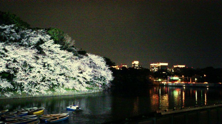 Sakura Hanami 千鳥ヶ淵