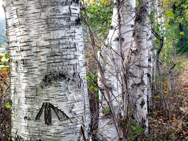 Birch Trees Close-up Tree Trunk Beauty In Nature Enjoy The View Naturelovers Cold Temperature Beauty In My Every Day Life Nature