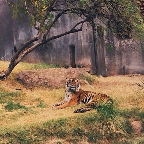 Vscocam VSCO Vscoarizona Arizona phxzoo phoenix tiger instagramaz
