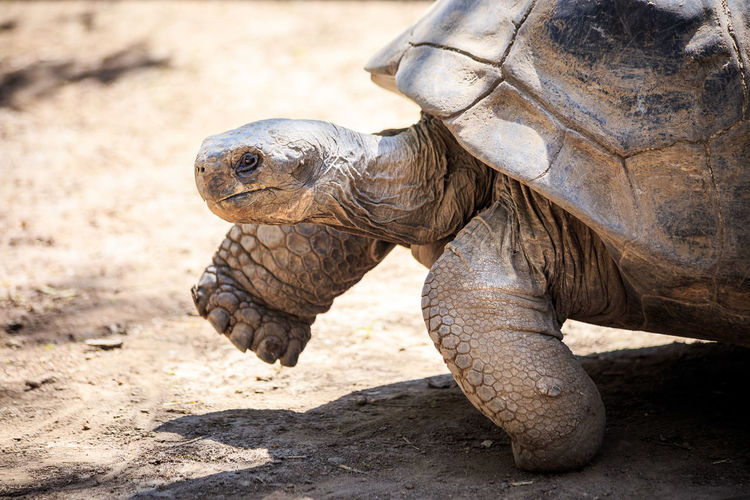 Galapagos Galapagos Tortoise Steps Tortuga Walk Animal Themes Animal Wildlife Animals In The Wild Beach Close-up Day Giant Tortoise Mammal Nature No People One Animal Outdoors Reptile Sand Tortoise Tortoise Shell