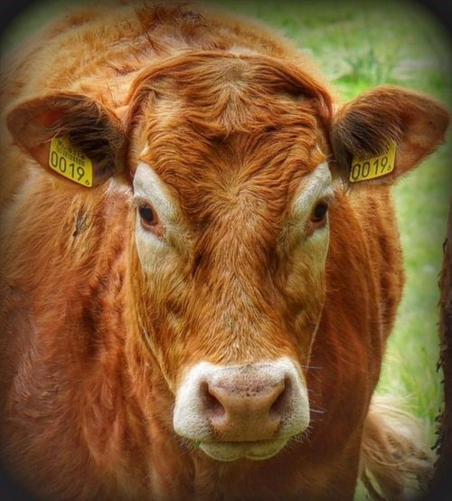 Animal Themes Brown Cattle Close-up Cow Day Domestic Animals Domestic Cattle Domesticated Animal Tag Farm Animal Field Grass Highland Cattle Livestock Livestock Tag Looking At Camera Mammal Nature No People One Animal Outdoors Portrait