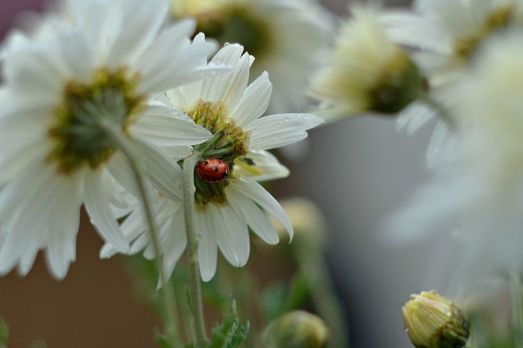 High Angle View Of Ladybug On White Flower
