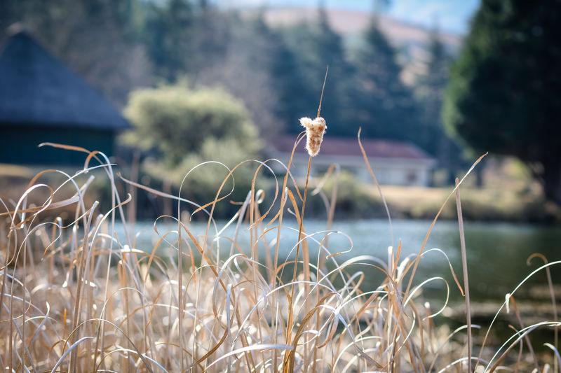 Bullrushes at lakeside