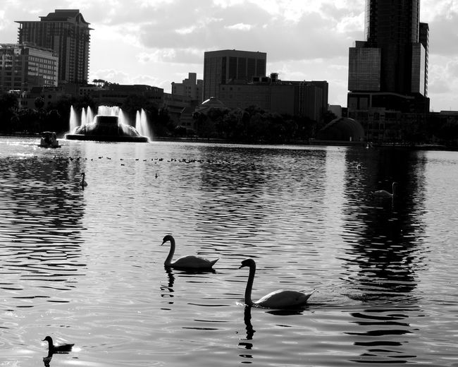 Lake Eola Park in downtown. Animal Animal Themes Animal Wildlife Animals In The Wild Architecture Bird Building Exterior Built Structure City Group Of Animals Lake Nature No People Outdoors Reflection Sky Skyscraper Swimming Vertebrate Water Waterfront