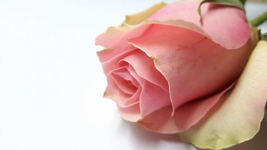 Pink rose *5