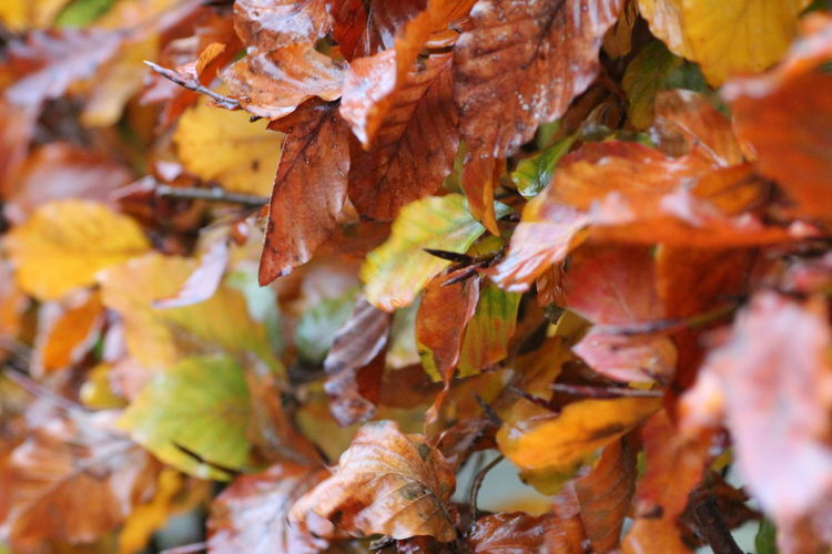 Hedge Hedge Hedgerow Autumn Change Leaf Plant Part Leaves Close-up Day Nature No People Orange Color Beauty In Nature Selective Focus Plant Tree Full Frame Maple Leaf Outdoors Growth Dry Branch Autumn Collection Natural Condition Fall