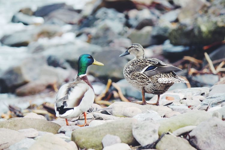 Mallard ducks at lakeshore