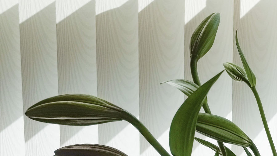 Beauty In Nature Close-up Leaf Light Lilies Lines Plant Stem