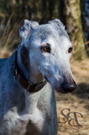 Galgoespañol Animal Themes Portrait Dog Blue Outdoor Photography