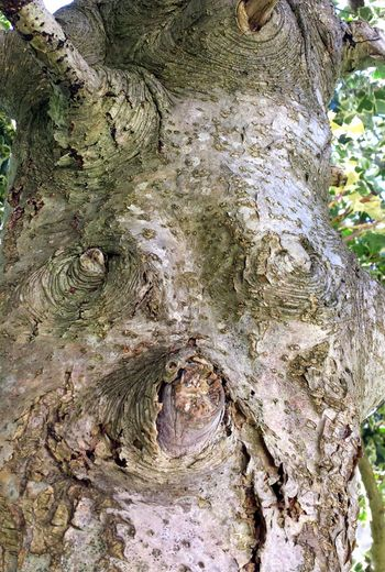 Holly Tree Ilex Aquifolium Faces In Trees Tree Trunk Close-up Strange Faces Smooth Bark Texture Of Wood Face Of Holly