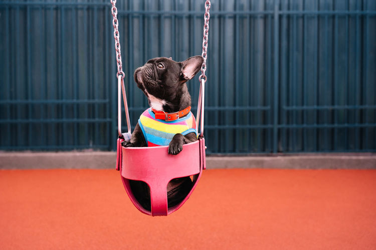 Rear view of french bulldog in swing in playground