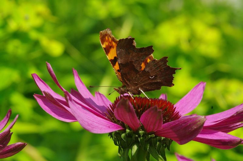comma butterfly Insect One Animal Animals In The Wild Fragility Wildlife Close-up Butterfly Flower Head Beauty In Nature Vibrant Color Invertebrate Butterfly - Insect