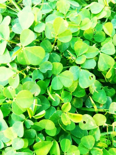 Green Color Growth Leaf Nature Plant Full Frame Backgrounds Drop Freshness No People Beauty In Nature Outdoors Water Close-up Day EyeEmNewHere Lucky Cloverleaf Garden Leaves Cool Background Wallpaper