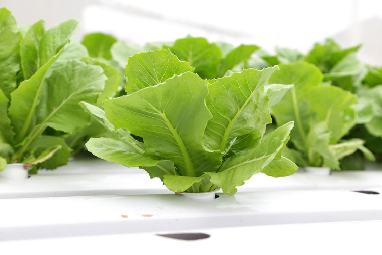 organic vegetable for salad at green house Close-up Focus On Foreground Food Food And Drink Freshness Green Color Healthy Eating Herb Indoors  Leaf Leaf Vegetable Leaves Lettuce Nature No People Plant Plant Part Still Life Studio Shot Vegetable Wellbeing