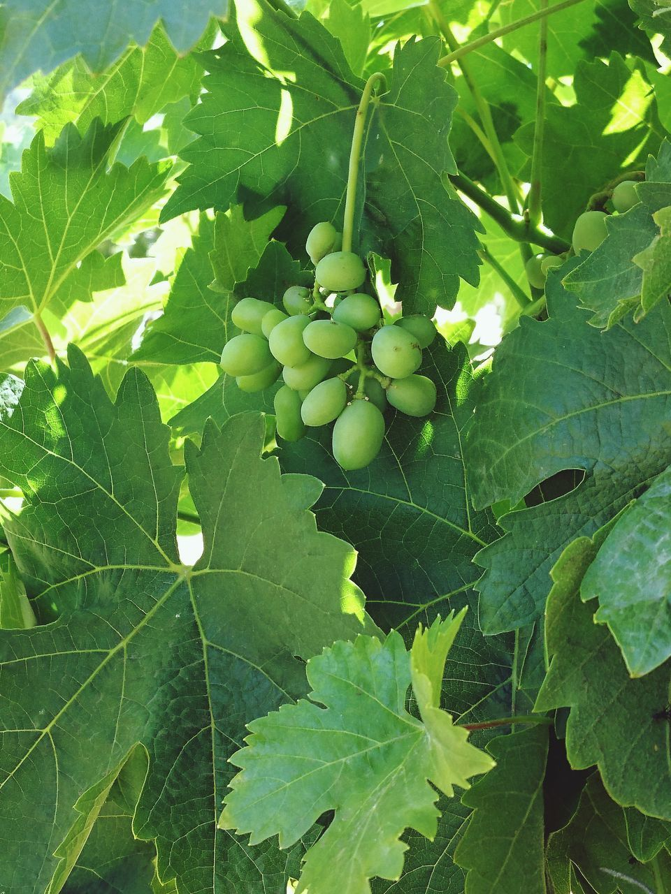 CLOSE-UP OF GRAPES ON TREE