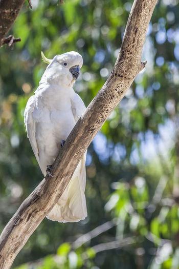 A cockatoo on a
