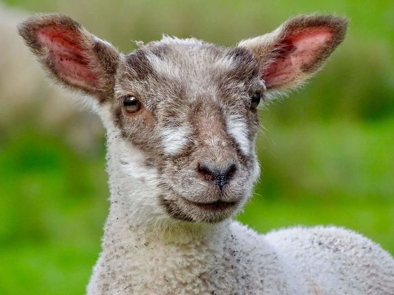 One Animal Animal Themes Looking At Camera Portrait Mammal Nature Animal Wildlife Animal Body Part Animal Head  Lamb Farming Sheep Lambing Lambing Season Green Color Nature Field Grass Springtime animals in the wild Close-up Animal No People Outdoors