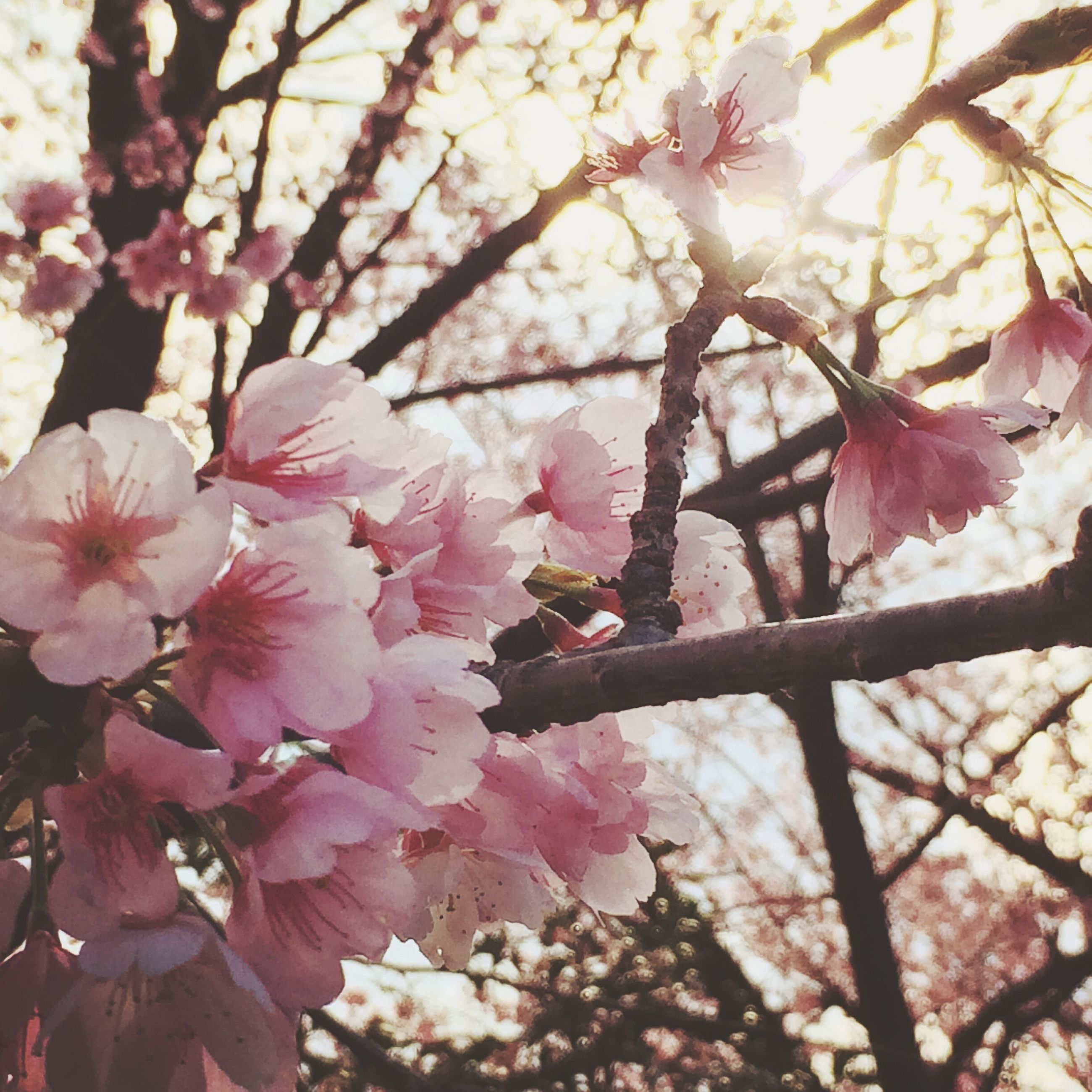 flower, branch, tree, pink color, freshness, growth, fragility, low angle view, cherry blossom, beauty in nature, nature, blossom, cherry tree, pink, close-up, petal, in bloom, springtime, twig, blooming