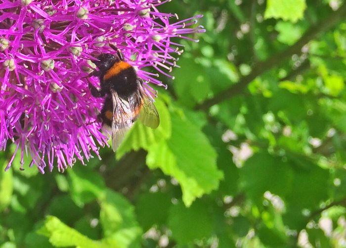 Flowers Purple Purple Flower Bumblebee Bumble Bee Bumble Bee Collecting Pollen Macro Russia The Street Photographer - 2016 EyeEm Awards