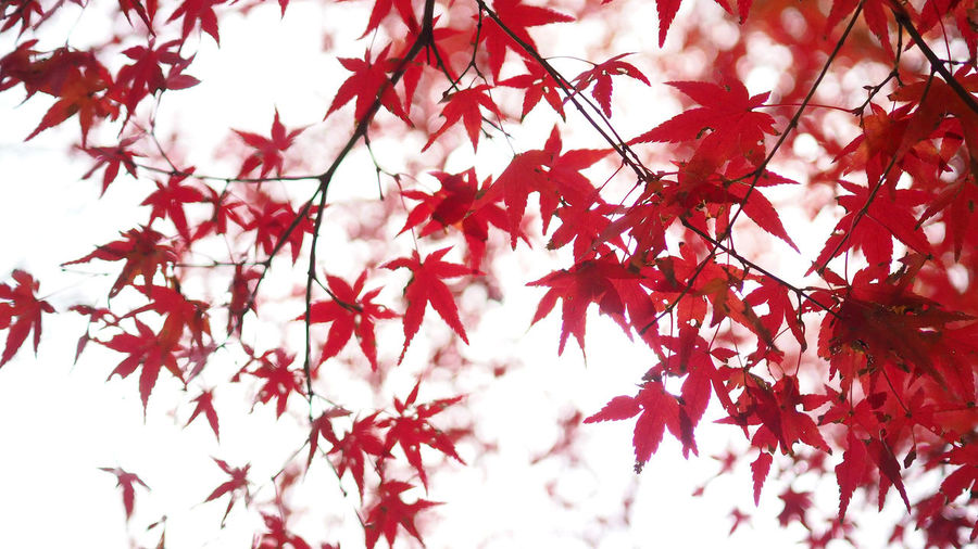 Red color maple leaf and blur white light bokeh on sky for background. Branch Plant Tree Beauty In Nature Change Autumn Plant Part Leaf Red No People Growth Day Nature Maple Tree Maple Leaf Close-up Low Angle View Focus On Foreground Outdoors Tranquility Leaves Natural Condition Red Color Maple Leaf And Blur White Light Bokeh On Sky For Background. Maple; Red; Tree; Autumn; Leaves; Leaf; Nature; Background; Fall; Foliage; Season; Sky; Beautiful; Color; Canada; Forest; Park; Beauty; Scene; Bright; White; Colorful; Orange; Sunlight; Autumnal; Natural; Branch; Texture; Abstract; Isolated; Plant; Outdoo
