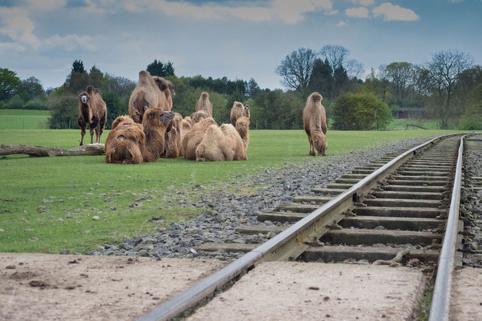 Camels grazing in a field by a train track taken at Whipsnade Zoo. Animal Themes Camel Camel Riding Camels Day Distance Domestic Animals Grass Landscape Large Group Of Animals Long Road Mammal Nature No People Outdoors Railroad Track Sky Summer Sunny Train Track Train Tracks Tree Wild Wilderness Wildlife