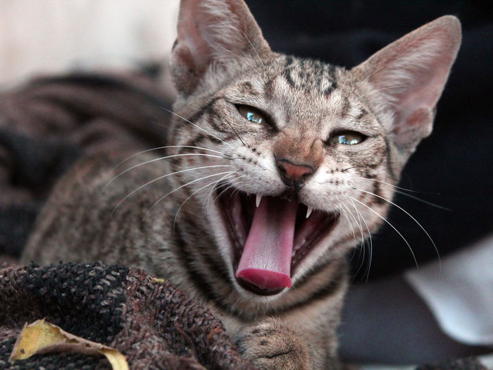 Close-up portrait of cat with mouth open sitting at home