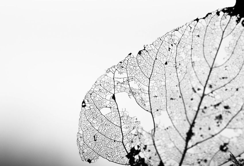 Blackandwhite Close-up Contrast Cracked Detail Exposure Extreme Close-up Fragility Intricacy Leaf Leaf Skeleton Leaf Vein Macro Monochrome Natural Pattern Nature NikonD7100 Rural Structure Tranquility