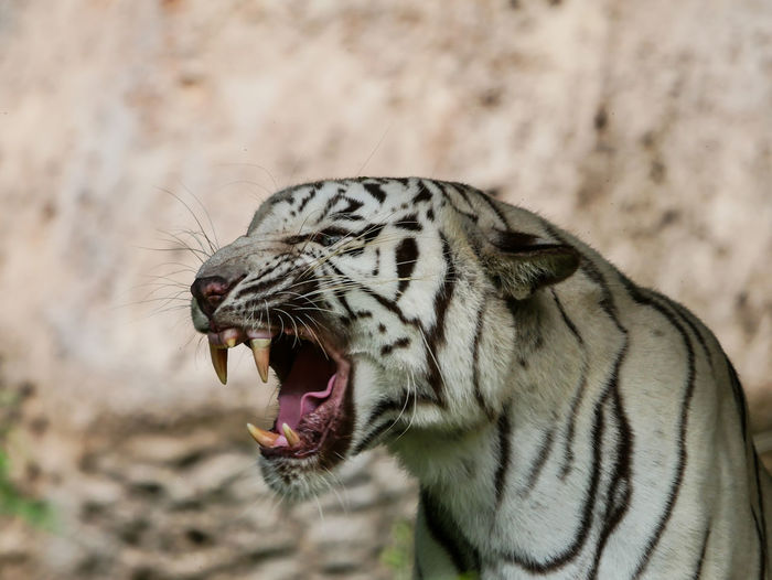 Close-up of white tiger at zoo