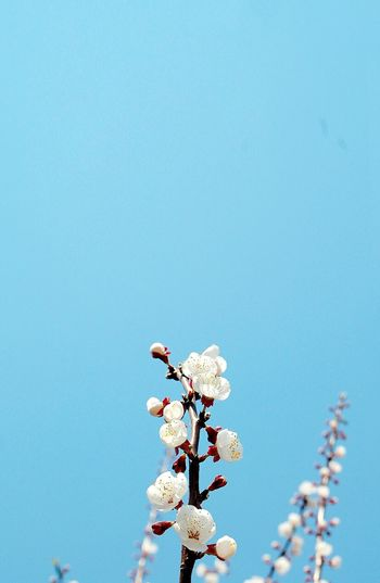 Flower Nature Blue Beauty In Nature Growth Tree Fragility No People Low Angle View Blossom Clear Sky Flower Head Branch Freshness Sky Day Close-up Outdoors