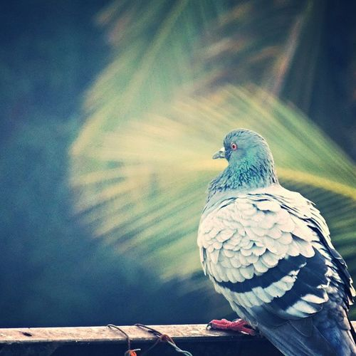 Morning Beautiful Pigeon Red Eyes Colour Mybest Loveitsomuchhh Camclick Myclicks Myterrace Shaukbahutbadicheezhai