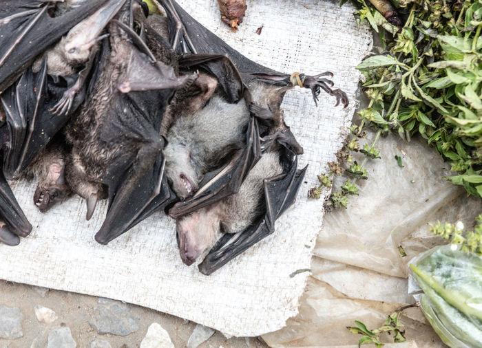 High angle view of dead bats on tarpaulin