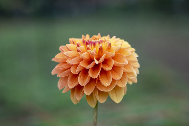 Flower Beauty In Nature Inflorescence Flower Head Plant Vulnerability  Flowering Plant Fragility Close-up Focus On Foreground Petal Growth Freshness Orange Color Nature No People Day Dahlia Plant Stem Pollen