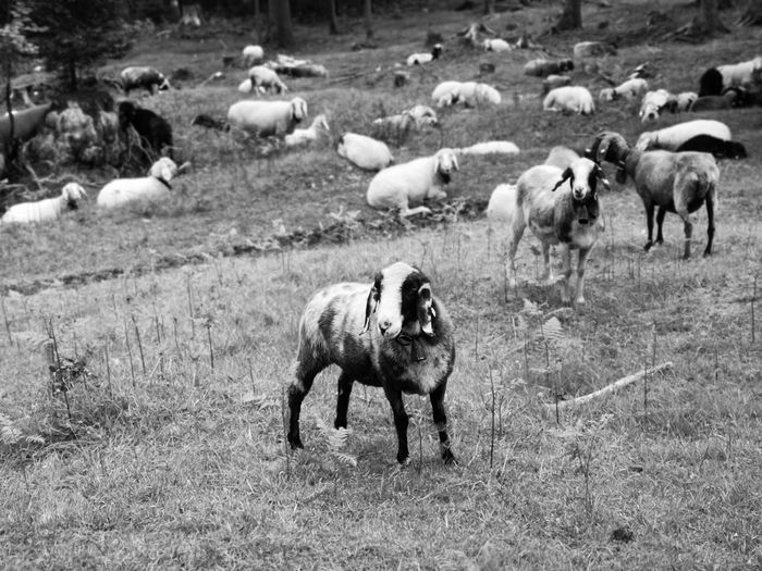 Herd of sheep with particular view on a piepalded one