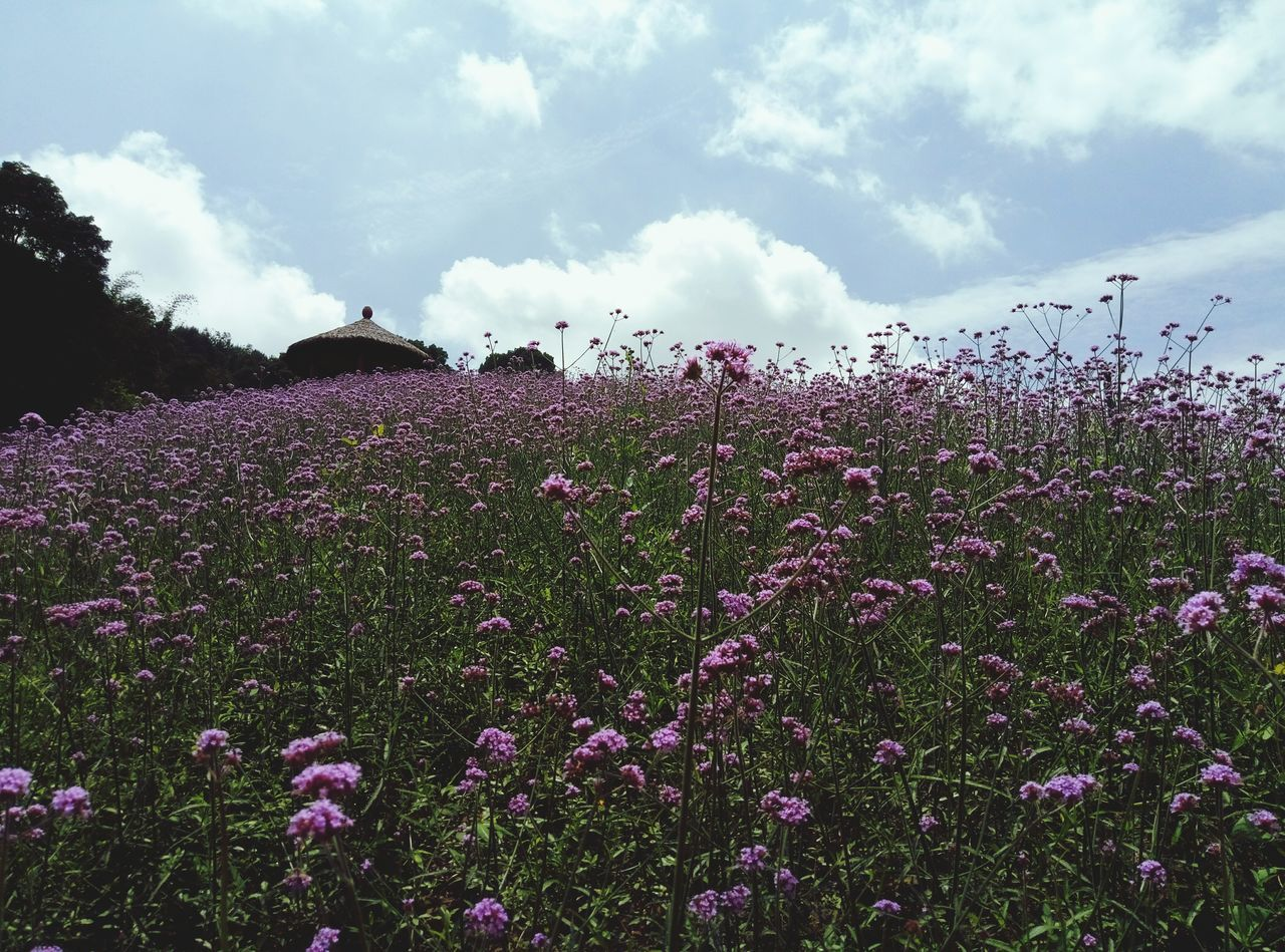 flower, growth, nature, field, beauty in nature, purple, plant, outdoors, day, freshness, cloud - sky, tranquility, agriculture, sky, fragility, rural scene, scenics, blooming, no people, landscape, flower head
