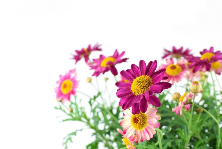 pink flowers with copy space on white background Copy Space Beautiful Natural Colorful Object Spring Flowers Leaf Flower Head Flower Pink Color Summer Purple Multi Colored Close-up Plant Blossom Plant Life Blooming Stamen In Bloom Botany Pollen Cosmos Flower