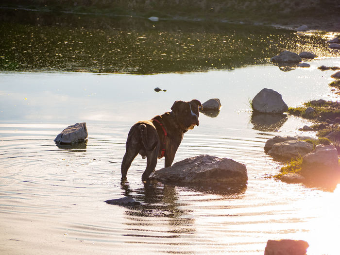 Dog standing in a lake