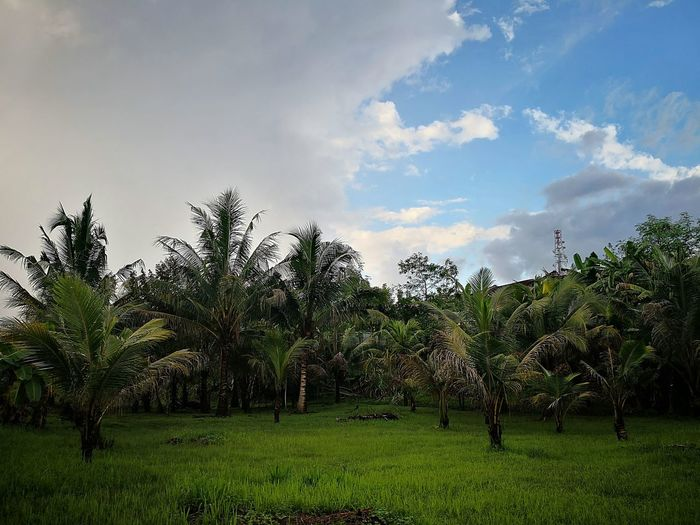 coconut palm Pokokkelapa Growth Green Color Tree Nature Grass Cloud - Sky Sky No People Beauty In Nature Freshness