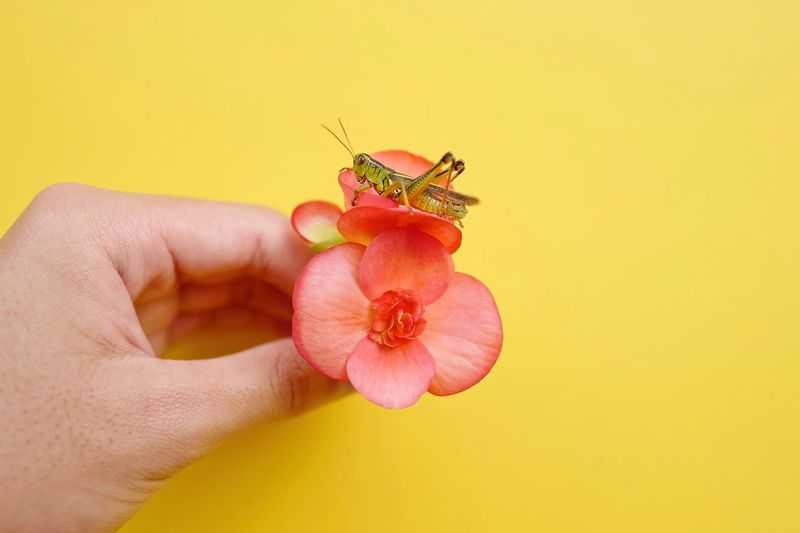 Grasshopper EyeEm Nature Lover Urban Fashion Jungle Insect_perfection Insect Macro  Insect Photo Insect Lifestyle Flower Head Fashion Model Fashionstyle Human Hand Human Body Part Hand Close-up Holding Finger Animal Flower Freshness Human Finger Body Part Animal Wildlife One Animal Flowering Plant Yellow Colored Background Animal Themes Plant