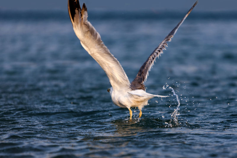 Seagull Taking Off From Sea