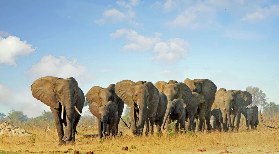 Animal Animal Themes Mammal Elephant Animal Wildlife African Elephant Animal Family Group Of Animals Hwange National Park Beauty In Nature Wildlife & Nature Wildlife Photography Nature Daylight Animals In The Wild No People Tourism Africa Cloud - Sky Land Outdoors